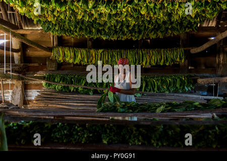 Mature woman wearing headscarf threading and drying tobacco leaves, Vinales, Pinar del Rio Province, Cuba - Stock Photo