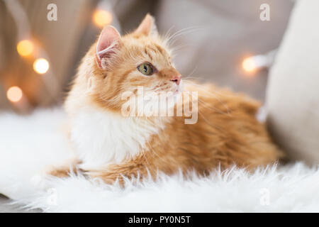 red tabby cat on sofa with sheepskin at home - Stock Photo