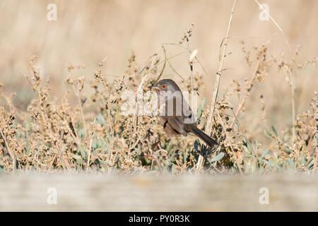 Dartford warbler (Sylvia undata) perched on coastal vegetation at Titchfield Haven National Nature Reserve, Hampshire, UK - Stock Photo