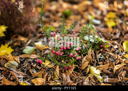 Bright short evergreen shrub of cowberry, Vaccinium among the fallen autumn maple foliage. Evergreen plant. Natural picturesque autumn background - Stock Photo