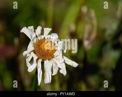 A wilted Shasta daisy, Leucanthemum superbum, in a garden in Speculator, NY USA at the end of the season in autumn. - Stock Photo