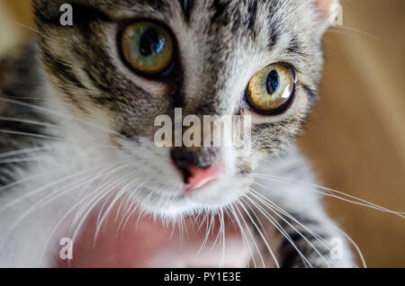 Closeup of a black and grey striped cat with brown and green eyes, - Stock Photo