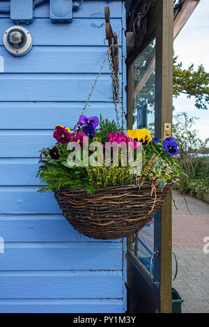 Colourful pansy flowers in whicker hanging basket against blue fence UK - Stock Photo