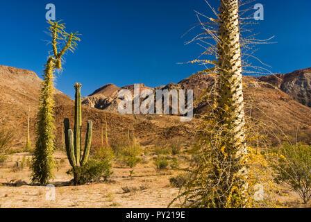 Cirios, cardon cacti in Desierto Central, Sierra de la Borja, Baja California, Mexico - Stock Photo
