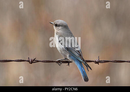 Mountain Bluebird (Sialia currucoides). The Mountain Bluebird is among the most beautiful birds of the West. - Stock Photo