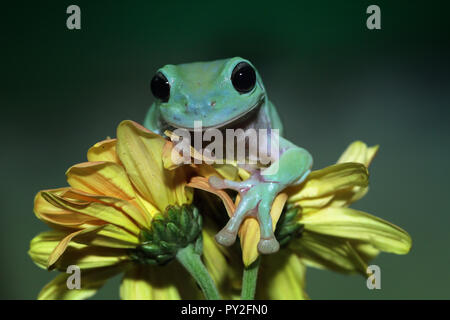 Dumpy tree frog on a flower, Indonesia - Stock Photo