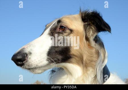 Borzoi face side portrait - Stock Photo