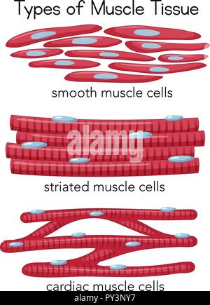 Types of Muscle Tissue illustration - Stock Photo