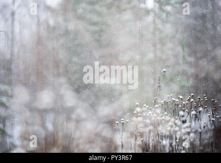 Heartleaf Oxeye (Telekia speciosa) seed heads in winter snowfall. Selective focus and shallow depth of field. - Stock Photo