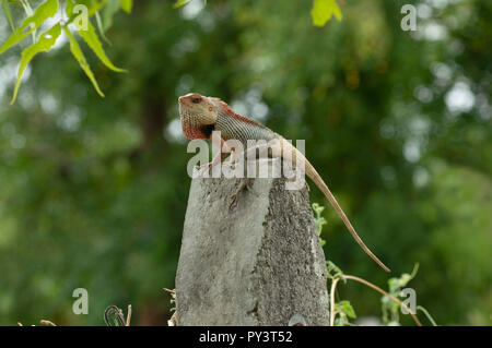 Garden lizard posing on a concrete pole near Pune, Maharashtra. - Stock Photo