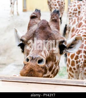 Closeup portrait of Reticulated giraffe (Giraffa camelopardalis reticulata), also known as the Somali giraffe. - Stock Photo