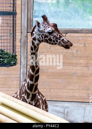 Reticulated giraffe (Giraffa camelopardalis reticulata), also known as the Somali giraffe looking to the right. - Stock Photo