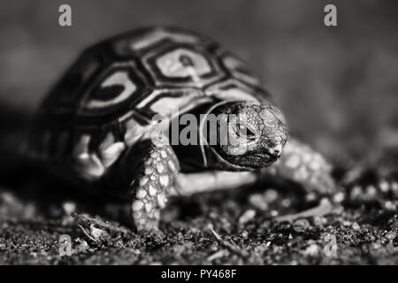 Black and white image of a newly hatched Leopard tortoise, close-up while mobile. Stigmochelys pardalis - Stock Photo