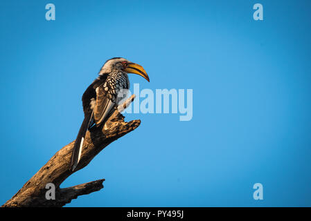A Southern Yellow Billed Hornbill - Stock Photo
