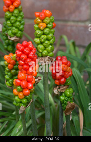 Ripening red, green and yellow fruit or berries on wild arum, cuckoo pint or lords and ladies, Arum maculatum, Berkshire, June - Stock Photo