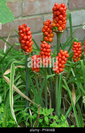 Ripe red fruit or berries on wild arum, cuckoo pint or lords and ladies, Arum maculatum, Berkshire, June - Stock Photo