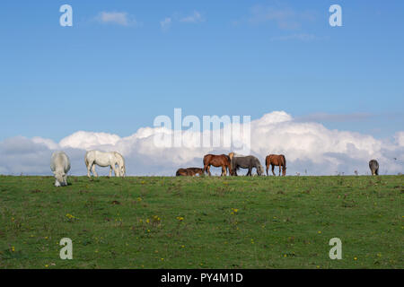 Horses in a field on the South Downs. A sunny day with some clouds. - Stock Photo