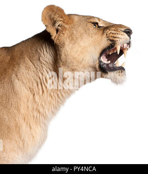 Lioness, Panthera leo, 3 years old, snarling in front of white background - Stock Photo