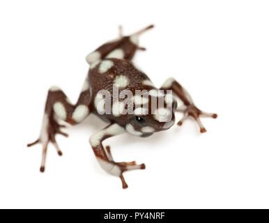 Marañón Poison Frog or Rana Venenosa, Ranitomeya mysteriosus, against white background - Stock Photo