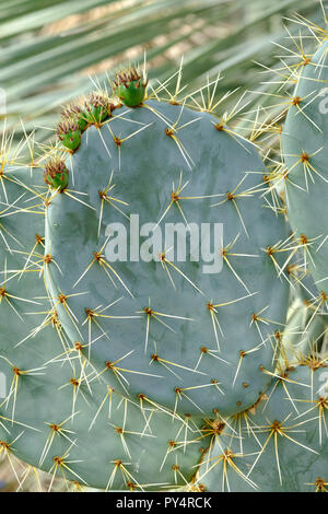 Close-up of spine covered stem segments with five immature prickly pears (Opuntia robusta) - Stock Photo