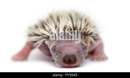 Baby Hedgehog, 4 days old, against white background - Stock Photo