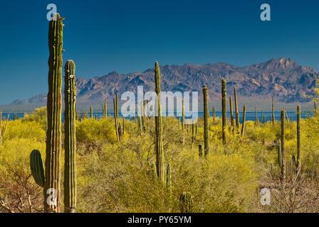 Junco shrubs in bloom and cardon cacti at Desierto Central near Bahia Concepcion at Gulf of California (Sea of Cortez), Baja California Sur, Mexico - Stock Photo