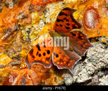 Dorsal view of a Polygonia interrogationis, Question mark butterfly, feeding on fermented fruit on a Persimmon tree trunk - Stock Photo
