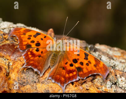 Polygonia interrogationis, Question mark butterfly, feeding on fermented fruit on a Persimmon tree trunk - Stock Photo