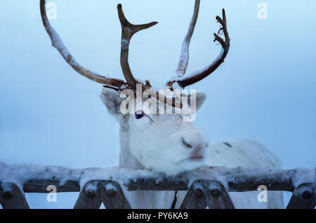 Close-up portrait of white reindeer with horns. Beautiful adult animal put the head on old wooden gate of deer enclosure in Lapland, Finland. Unfocuse - Stock Photo