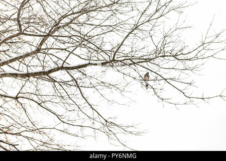 One blue jay, Cyanocitta cristata, bird sitting perched on tree branch during heavy winter covered in snow in Virginia, snow flakes falling, far dista - Stock Photo