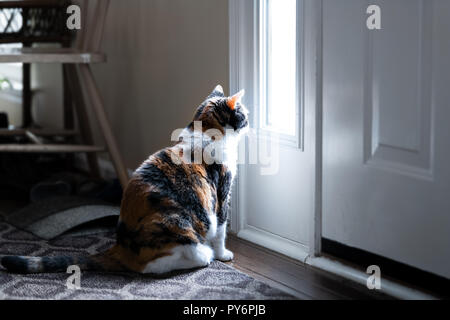 Sad, calico cat sitting, looking through small front door window on porch, waiting on hardwood carpet floor for owners, left behind abandoned - Stock Photo