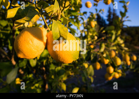A close-up of two lemons on a tree branch with a lemon tree full of fruit in the back in a warm evening sun - Stock Photo