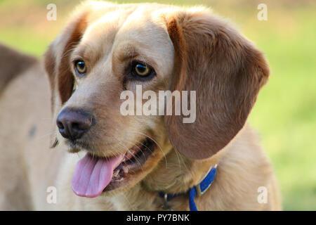 Lab Beagle Mix - Stock Photo