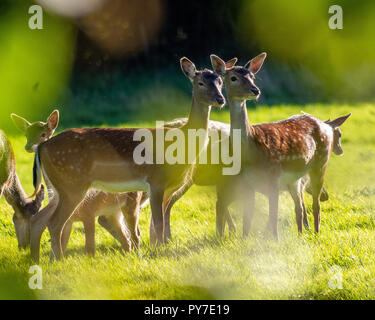 A group of adult and young Fallow Deer grazing in a meadow about 50 yards from an East Grinstead, West Sussex, UK housing estate in September. - Stock Photo