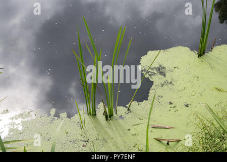 Stagnant water with algae bloom. Polluted river water. Water pollution concept - Stock Photo
