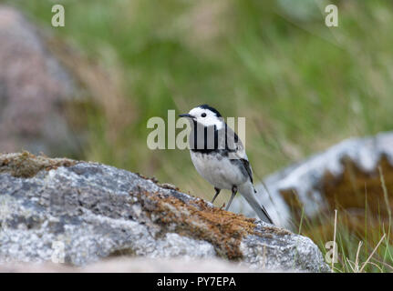 Pied Wagtail,  Motacilla alba, single adult standing on rock. The HIghlands, Scotland, UK. - Stock Photo
