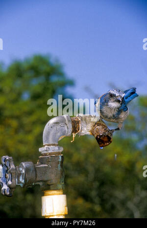 Florida Scrub Jay, Aphelocoma coerulescens, drinking from dripping water faucet - Stock Photo