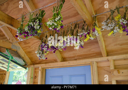 Statice flowers and gomphera drying in garden shed, Community garden, Maine - Stock Photo