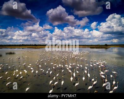 Flamingos Aerial Photograph, feeding in a lagoon in Sri Lanka - Stock Photo