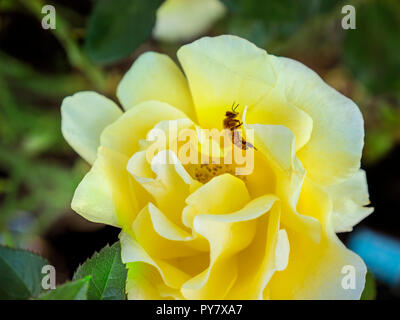 Honey bee gathering pollen from a 'Rosa Glorious Interictira' yellow rose in full bloom in a wildlife nectar rich garden - Stock Photo