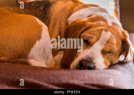 Beagle taking a nap on soft bed - Stock Photo