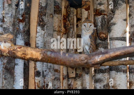 Wild barn owl or Tyto alba perched on branch in zoo - Stock Photo