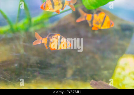 Cute tiger barb or Sumatra barb (Puntigrus tetrazona) fish in aquarium. Tiger barbs are also found in many other parts of Asia. - Stock Photo