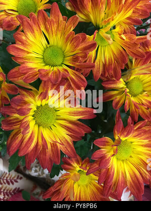 Close up background view of a bouquet of beautiful fresh cut chrysanthemum flowers in colors of pink, red and yellow - Stock Photo