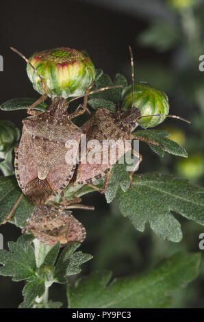 Brown marmorated stink bug (Halyomorpha halys) on green leaves (Ita: cimice asiatica; Deu: Marmorierte Baumwanze; Fra: Punaise diabolique: Spa: Bernat - Stock Photo