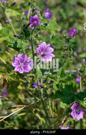 Common mallow, Malva sylvestris, deep purple lines lilac flowers with visiting insects, Berkshire, July - Stock Photo