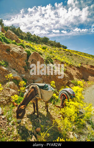 MOROCCO SOUS VALLEY TWO DONKEYS GRAZING AT THE ROADSIDE - Stock Photo