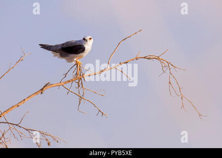 Black-winged Kite (Elanus caeruleus) on treetop with blue sky background. Also called the black-shouldered kite, this bird-of-prey is found in sub-Sah - Stock Photo