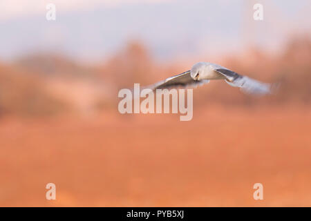 Black-winged Kite (Elanus caeruleus) in flight. Also called the black-shouldered kite, this bird-of-prey is found in sub-Saharan Africa and tropical A - Stock Photo
