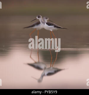 male (Left) and female (right) Black-winged Stilt (Himantopus himantopus) wading in water Photographed in Israel in September - Stock Photo